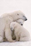 Polar Bear Family Affiches