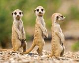 Nambia - Meerkat Pups Posters