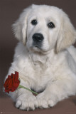 Dog With Rose Posters