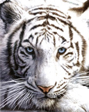 Tigre blanc Affiche