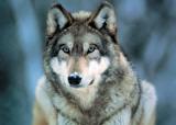 Primo piano di un lupo grigio Stampe