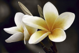 Frangipani Julisteet