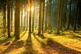 Raggi di sole nella foresta II Poster