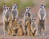 Meerkats - Family Print