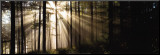 Sunlight Streaming Through Forest Mounted Print by Irving Underhill