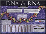 DNA &amp; RNA Mounted Print