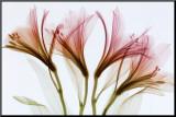 Alstroemeria bloemen Kunst op hout van Steven N. Meyers