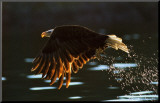 Leaders: Bald Eagle Mounted Print