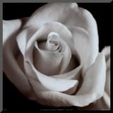 Open Rose Mounted Print