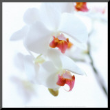 White and Pink Orchid Mounted Print by Cédric Porchez