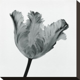Tulipe perroquet I Toile tendue sur châssis par Tom Artin
