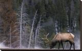 Elchbulle, Wyoming Leinwand von Art Wolfe