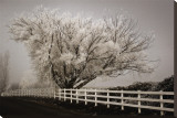 Frosted Tree and Fence Stretched Canvas Print by David Winston