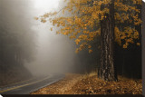 Yellow Leaves in Fog Stretched Canvas Print by David Winston