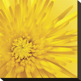 Yellow Mum III Stretched Canvas Print by Jenny Kraft