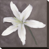 White Lily Stretched Canvas Print by Erin Clark