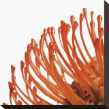 Orange Protea IV (detail) Stretched Canvas Print by Jenny Kraft