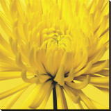 Yellow Mum IV Stretched Canvas Print by Jenny Kraft