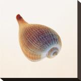 Fig Shell Opspændt lærredstryk af Tom Artin