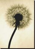 Backlit Dandelion Reproduction transférée sur toile par Jenny Kraft