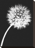 Dandelion Tilt Stretched Canvas Print by Jenny Kraft