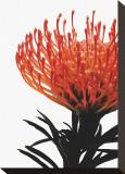Orange Protea I Stretched Canvas Print by Jenny Kraft