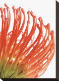 Orange Protea V Stretched Canvas Print by Jenny Kraft