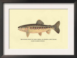 The Golden Trout of Soda Creek Print by H.h. Leonard