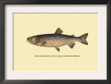The Tahoe Trout Posters by H.h. Leonard