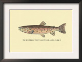The Red Throat Trout Poster by H.h. Leonard