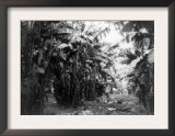 Man Standing in Grove of Banana Trees Photograph - Cuba Prints