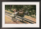 Pikes Peak, Colorado, View of a Mule that Helped Build the Pikes Peak Railroad Posters