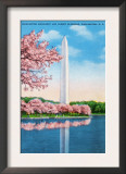 Washington DC, View of the Washington Monument through Blossoming Cherry Trees Prints