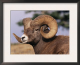 Rocky Mountain Bighorn Sheep, Ram, Jasper National Park, Alberta, USA Prints by Lynn M. Stone