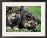 Norwegian Elkhound Puppies Lying in Grass Posters by Adriano Bacchella