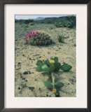 Big Bend National Park, Chihuahuan Desert, Texas, USA Strawberry Cactus and Prickly Pear Cactus Poster by Rolf Nussbaumer