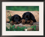 Domestic Dogs, Two Gordon Setter Puppies Resting on Log Poster by Adriano Bacchella