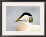 Male Eider Duck, Head Profile, Northumberland, UK Prints by David Tipling