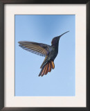 Jamaican Mango, in Flight, Rocklands, Montego Bay, Jamaica Posters by Rolf Nussbaumer