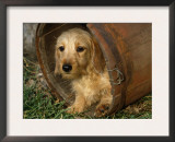 Wire Haired Dachshund, Portrait in Wooden Barrel Prints by Lynn M. Stone