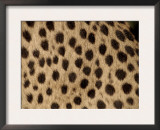 Cheetah Fur Detail Poster by Tony Heald