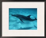 Atlantic Spotted Dolphin and Shadow on Seabed, Bahamas Art by Todd Pusser