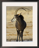 Sable Antelope, Male at Drinking Hole, Namibia Posters by Tony Heald