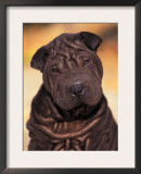 Black Shar Pei Puppy Portrait Showing Wrinkles Face and Chest Posters by Adriano Bacchella