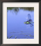 Southern Hawker Dragonfly Male Hovering Over Pond, UK Posters by Kim Taylor