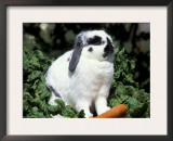 Pet Domestic Holland Lop Eared Rabbit with Carrot Prints by Lynn M. Stone