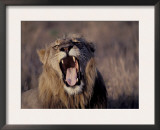 Male Lion Roaring (Panthera Leo) Kruger National Park South Africa Prints by Tony Heald