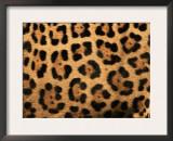 Close-Up of Jaguar Cat Coat, Prints by Staffan Widstrand