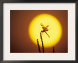 Haloween Pennant Dragonfly, Silhouette at Sunrise, Welder Wildlife Refuge, Sinton, Texas, USA Art by Rolf Nussbaumer