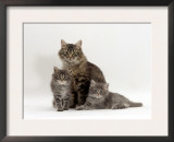 Domestic Cat, Fluffy Tabby with Her Two Kittens Prints by Jane Burton